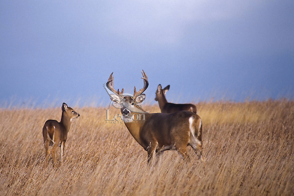 White-tailed deer (Odocoileus virginianus) buck with two does.  Western Plains, late fall.