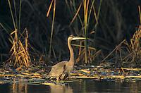 Great Blue Heron, Ardea herodias, immature, Port Aransas, Texas, USA, November 2003