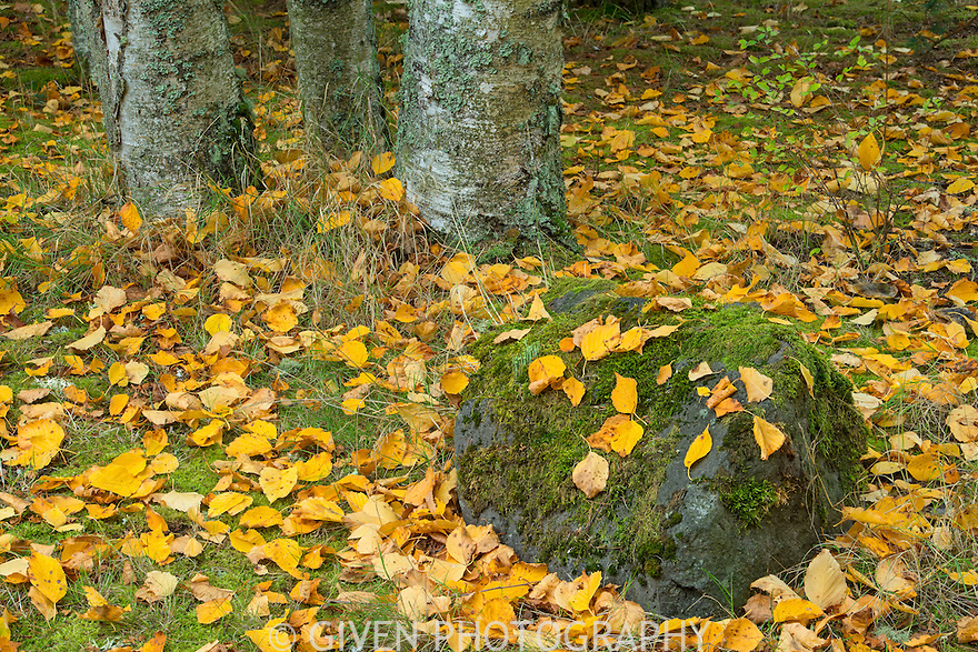 Birch trees and leaves in autumn, Washington
