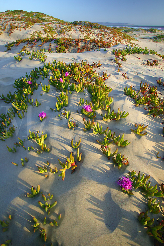 Sand Dunes with Sea Fig (Carpobrotus chilensis), Pismo State Beach.  Oceano, California.