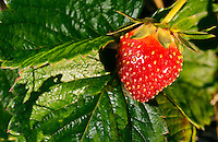 Strawberry ripe for picking.