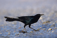 Boat-tailed Grackle, Quiscalus major, adult, Sanibel Island, Florida, USA, Dezember 1998
