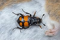 Schwarzhörniger Totengräber, an einer toten Maus, Schwarzfühleriger Totengräber, Waldtotengräber, Aaskäfer, Necrophorus vespilloides, Nicrophorus vespilloides, burying beetle
