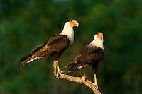 511580094 a wild pair of crested caracaras caracara plancus perch on a dead snag in the rio grande valley of south texas