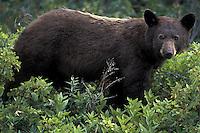 Black Bear  #W10
