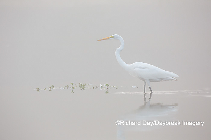 00688-02313 Great Egret (Ardea alba) in wetland in fog, Marion Co., IL