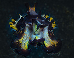 Flambuoyant cuttlefish, Metasepia pfefferi
