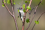 Male hairy woodpecker perched in a speckled alder.