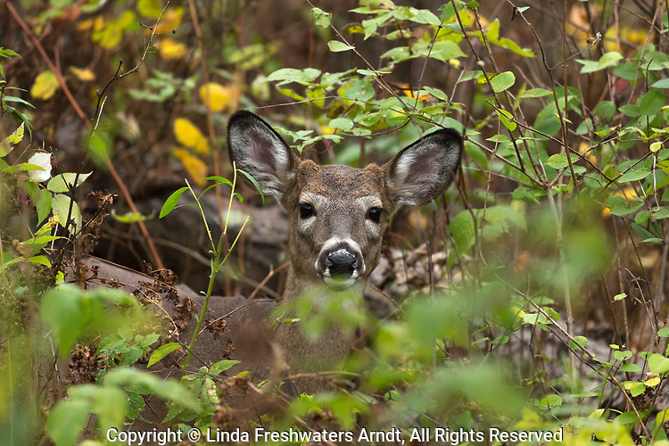 White-tailed fawn (buck) in a northern Wisconsin forest.