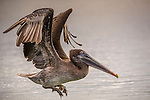 Black Turtle Cove, Santa Cruz Island, Galapagos Islands, Ecuador , brown pelican (Pelicanus occidentalis)