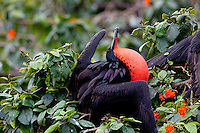 Frigate Bird - Halfmoon Caye, Belize