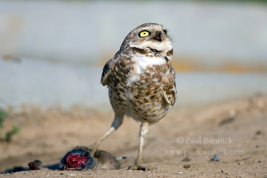 A Burrowing Owl, Athene cunicularia, looks skyward for potential predators and food-thieves, before taking the prey back to the nest and young in Adams County, Washington.