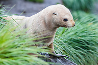 Antarctic fur seal, Arctocephalus gazella, aka Kerguelen fur seal, rare, leucistic pup, Cooper Bay, South Georgia, Atlantic Ocean