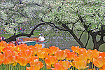Orange tulips and swan boat. Boston Public Garden, MA