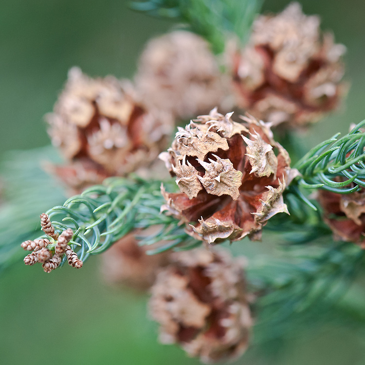 Female cones of Japanese cedar (Cryptomeria japonica), mid March.
