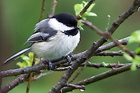 Chickadee, April 24, 2011