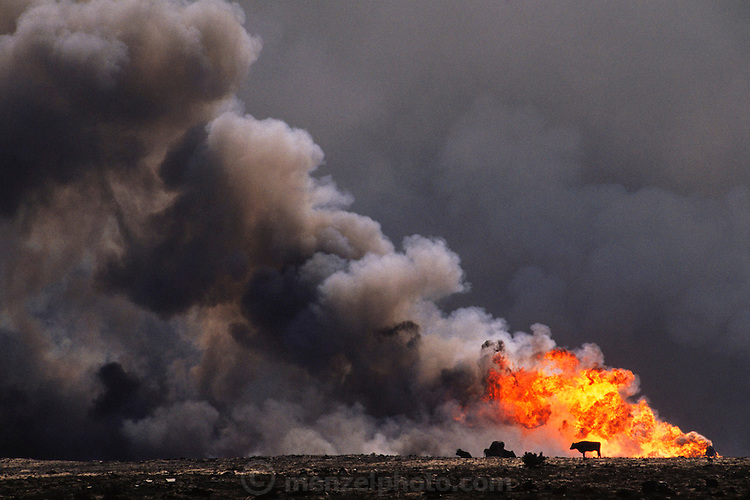 The burning Magwa oil fields near Ahmadi in Kuwait right after the end of the Gulf War in May of 1991. Some abandoned cattle are silhouetted by the burning oil well. They all died within a few weeks. More than 700 wells were set ablaze by retreating Iraqi troops creating the largest man-made environmental disaster in history.