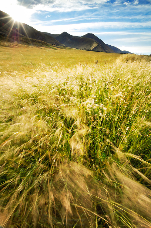 Waving grasses,Rangitata, Canterbury, New Zealand - stock photo, canvas, fine art print