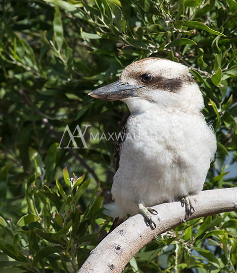 Laughing kookaburras are common birds, but are often fairly shy.