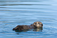 Sea Otter (Enhydra lutris) pup resting on surface while mom dives for food.
