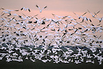 USA, WASHINGTON, SKAGIT RIVER, SNOW GEESE IN FLIGHT