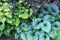Jardins du pays d'Auge, Brunnera macrophylla 'Jack Frost' et à gauche, renouée 'Painter's Palette = Polygonum, virginianum 'Painter's Palette' = Persicaria virginiana 'Painter's Palette', droite, Geranium, dessus, Berberis thunbergii 'Atropurpurea'.