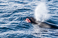 killer whale or orca, Orcinus orca, Type A killer whale, surfacing with minke whale meat in its jaws, Gerlache Strait, Antarctica, Southern Ocean
