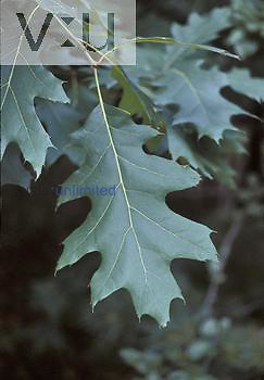 Red Oak tree leaf ,Quercus rubra,, North America.