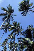 Itaparica, Brazil. Looking up at palm trees blowing in the wind.