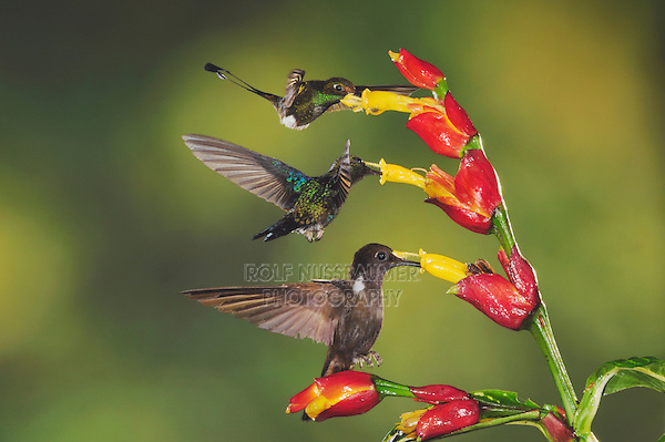 Booted Racket-tail(Ocreatus underwoodii), Green-Crowned Woodnymph (Thalurania fannyi) Brown Inca (Coeligena wilsoni),adults feeding on Ginger flower,Mindo, Ecuador, Andes, South America