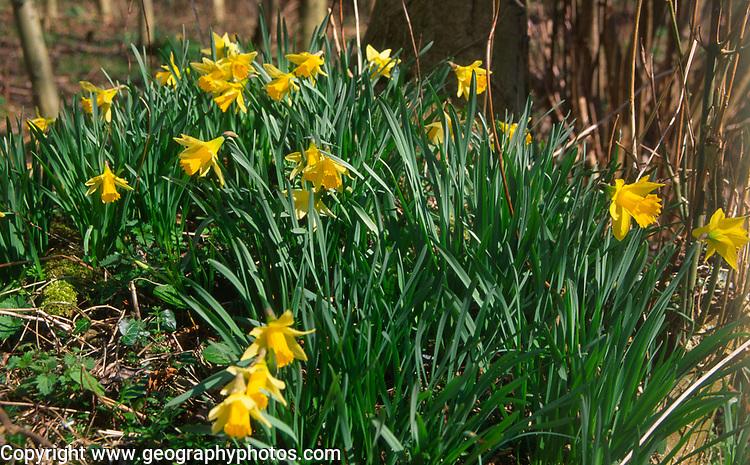 ADFTG7 Wild daffodil flowers in ancient woodland, Butley daffodil woods, Suffolk, England