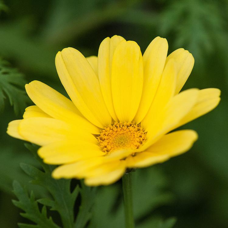 Argyranthemum 'Jamaica Primrose', mid July.