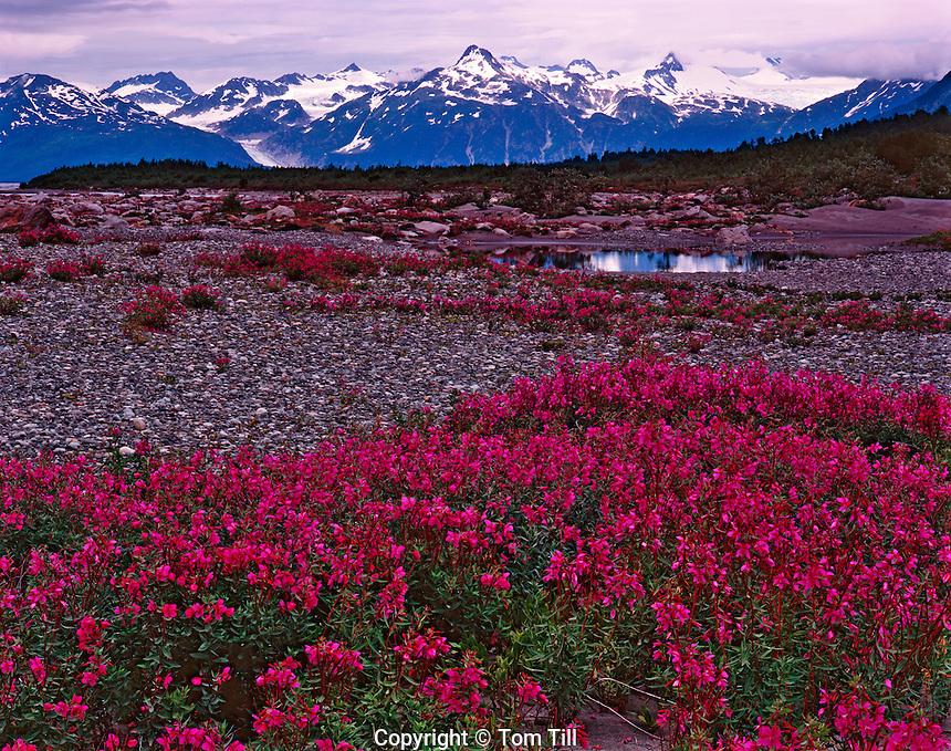 Wildflower Fields at Alaska Lake, Glacier Bay National Park and Preserve, Alaska