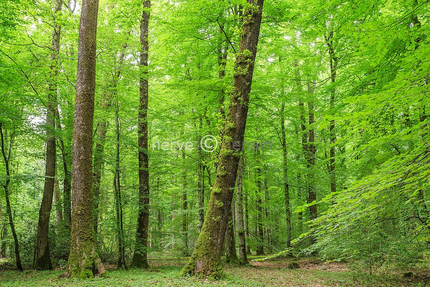 France, Orne (61), région du Perche, Parc Régional Naturel du Perche, forêt de Bellème vers La Perrière // France, Orne, le Perche, Belleme forest