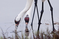 Whooping Crane pair feeding, Aransas National Wildlife Refuge, Texas