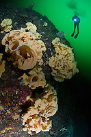 TA0544-D. Cloud Sponges (Aphrocallistes vastus), deep-water glass sponges range from Japan and Russia across to Alaska and south to Mexico, inhabiting cool waters down to more than 5000 feet deep. Individuals can be white, yellow or brown and grow to more than 10 feet in size. Fragile and long-lived,  they form extensive sponge gardens or reefs in some areas, providing shelter for fish and invertebrates. British Columbia, Canada, Pacific Ocean.<br /> Photo Copyright &copy; Brandon Cole. All rights reserved worldwide.  www.brandoncole.com
