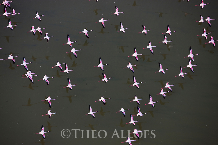 Kenya, Rift Valley,  lesser flamingos flying above Lake Magadi