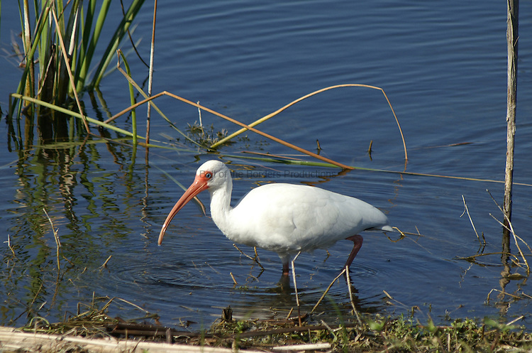 White ibis feeding during breeding season - note the red legs.