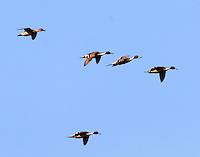 Flock of northern pintails flying