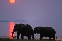 African Elephants (Loxodonta africana) feeding along shore of Lake Kariba, Matusadona National Park, Zimbabwe.  Sunset.  Odd sunset caused by smoke from fires in Zambia.