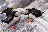 Puffins fighting on Machias Seal island, Maine