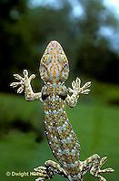 GK06-001a  Tokay Gecko - climbing window -  Gekko gecko.