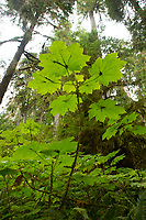 Devil's club. Location: Quinault Rain Forest Trail, Olympic National Forest, Washington, US