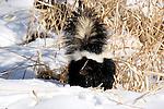 Striped Skunk (Mephitis mephitis) in the snow.  Minnesota.