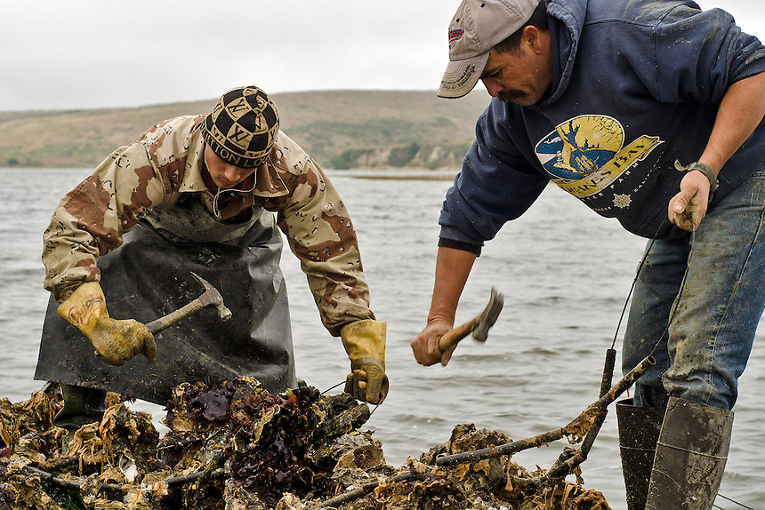 Sean Lunny (left) and Jorge Mata hammer away at oyster clusters to remove them from strands on which the oysters initially grow at Drakes Bay Oyster Company in Inverness, Calif., on August 30, 2012. (Alvin Jornada / Special to The Chronicle)