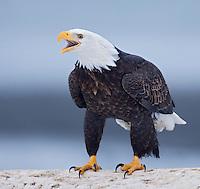 Eagle Calling, Alaska