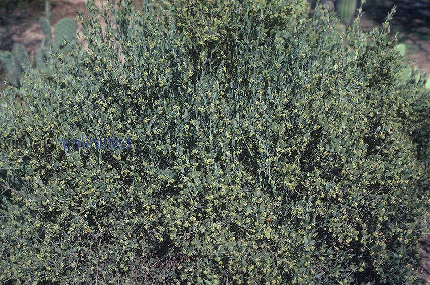 Jojoba (Simmondsia chinensis), Sonoran Desert, Arizona, USA. This agricultural crop produces a liquid wax that is useful in cosmetic products, lubricating oils, vehicle fuels, waxes, and industrial chemistry.