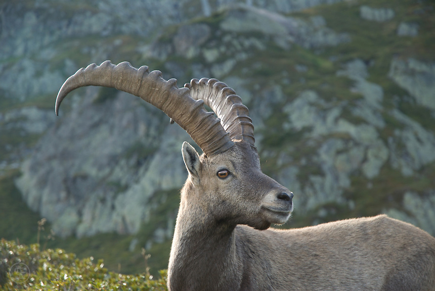 A portrait of an alpine ibex (Capra ibex) near Mont Blanc, France.