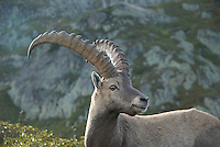 A portrait of an alpine ibex (Capra ibex) near Mont Blanc, France.