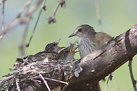 Vermilion Flycatcher (Pyrocephalus rubinus) mother seen with young in the nest after feeding one young a mouth filling grasshopper.